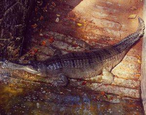 Крокодил Индия