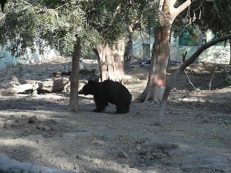 Гималайский медведь Индор
