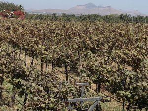 виноградники Сула