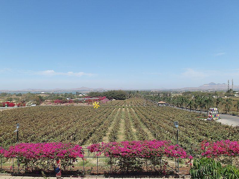 виноградники в Индии