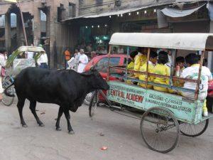 Коровы Варанаси