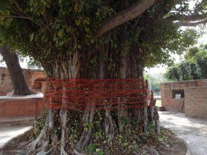 Баньян в Индии