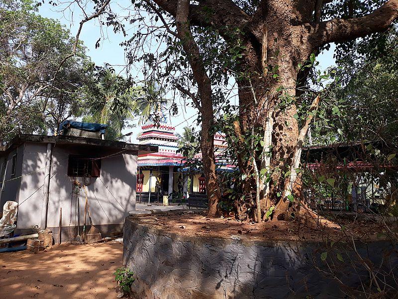 Баньян в храме