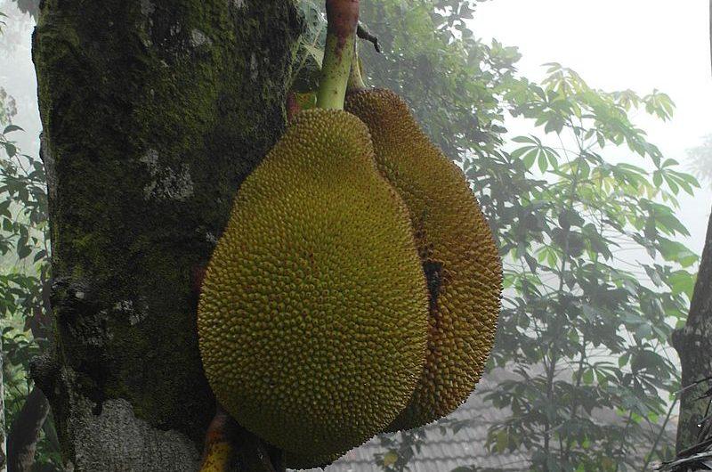 Джекфрут: овощ и фрукт одновременно