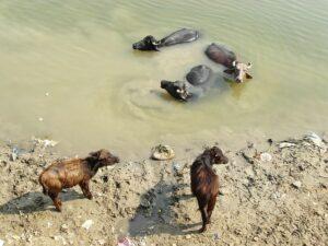 Купание быков в Ганге