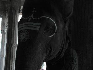 Слон в Тируваннамаллайе