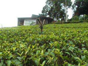Чай растет в Индии