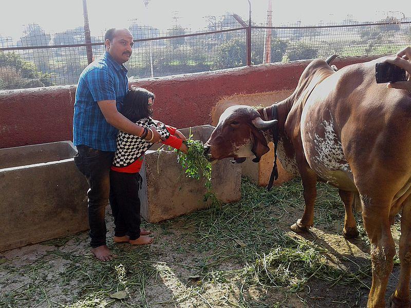 Кормят корову