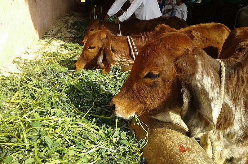 Гопаштами: день почитания коровы в Индии