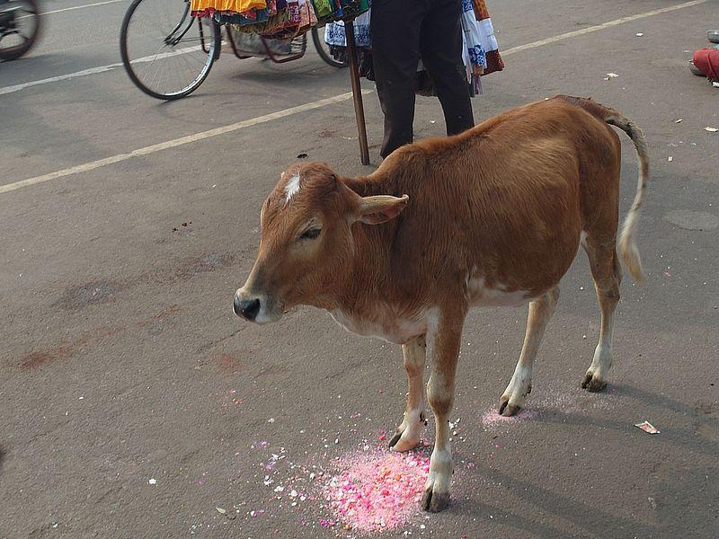 корова нет