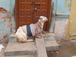 Коза в одежде на улице Индии