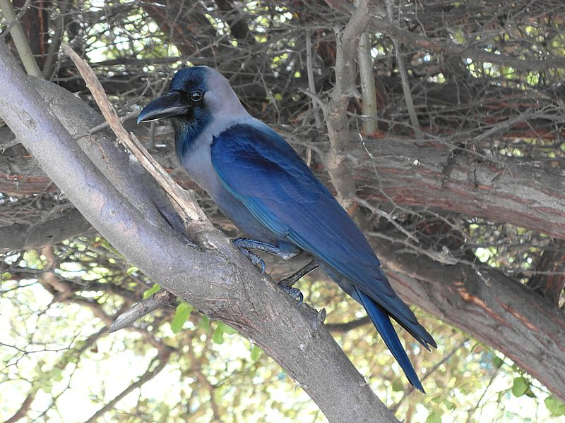 Ворона Индии