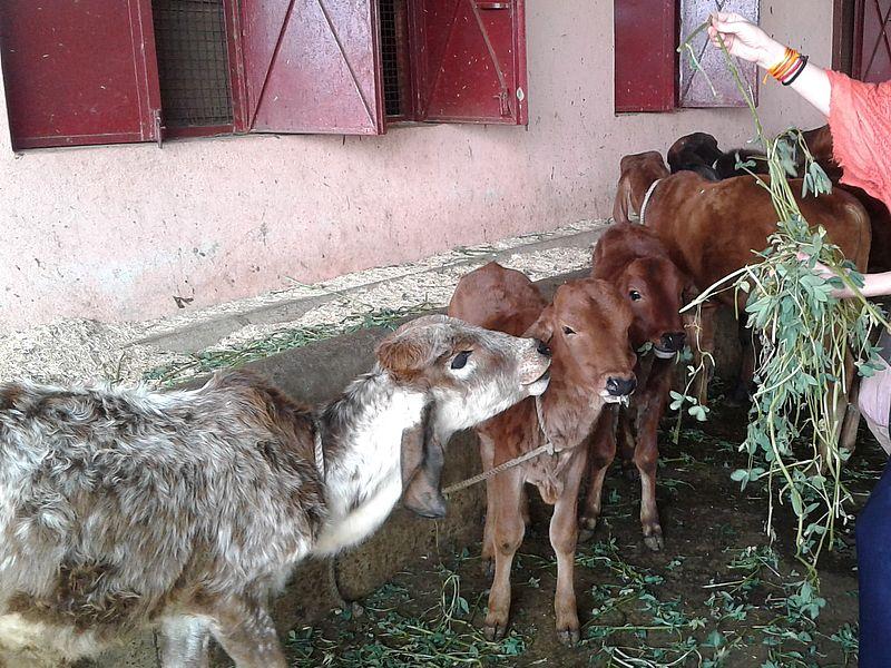 Пропитание коровам Индии