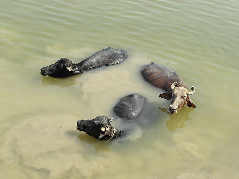 буйволы Мурра