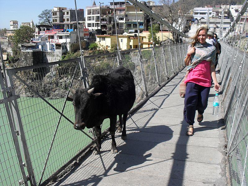 Корова в Ришикеше