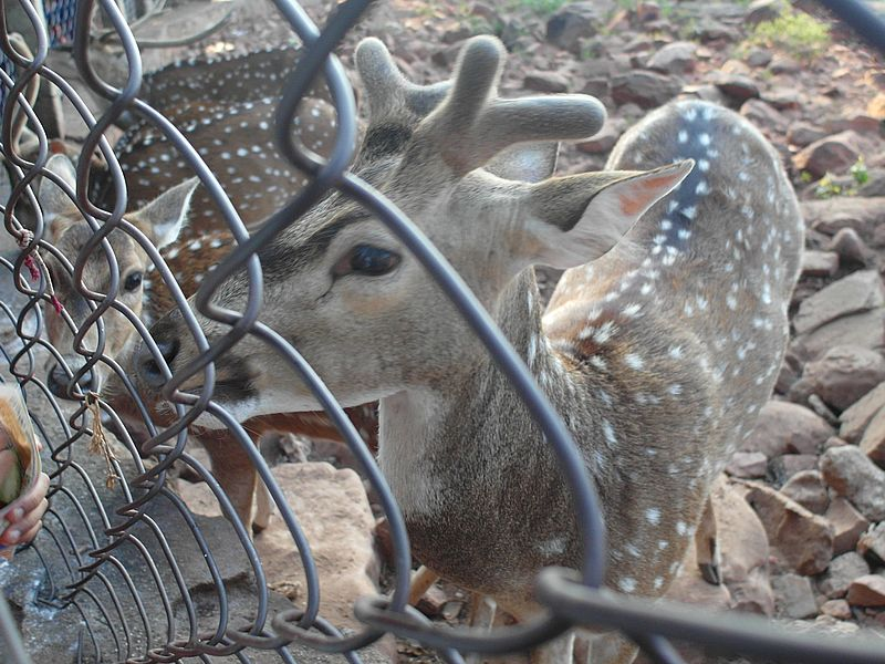 Tirumala Deer