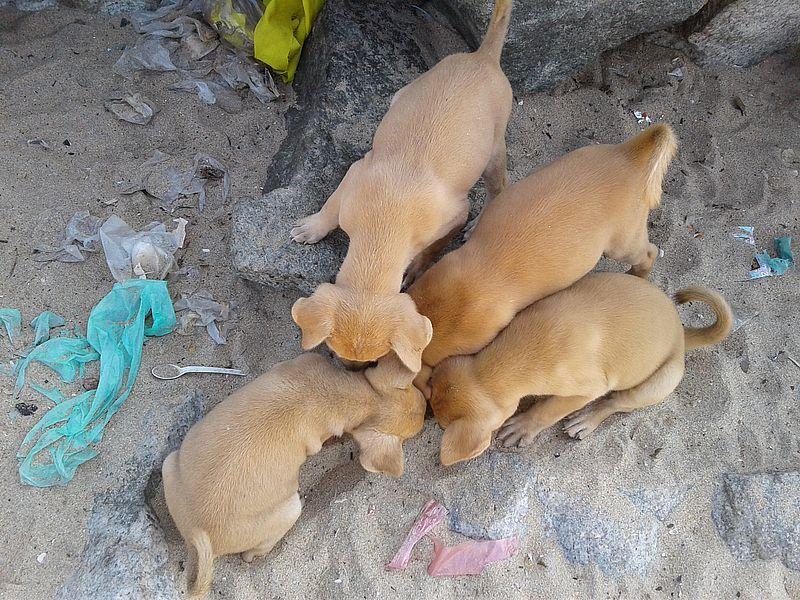собаки Индии