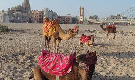 Верблюды в Индии