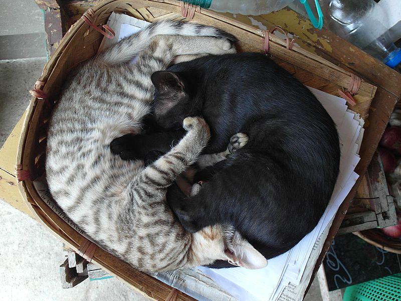 Коты Индии