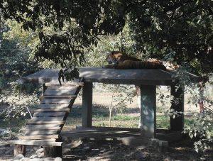 Тигры Индор
