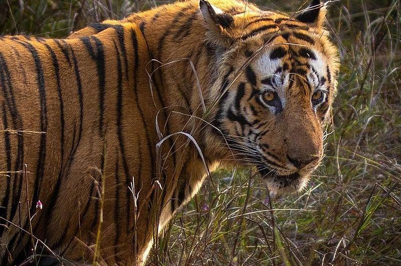 Где можно полюбоваться тиграми в Индии? Полный список мест