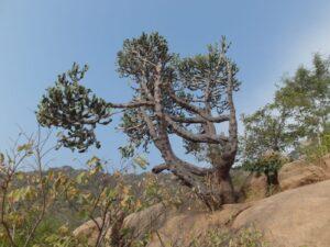 Кактус на Аруначале