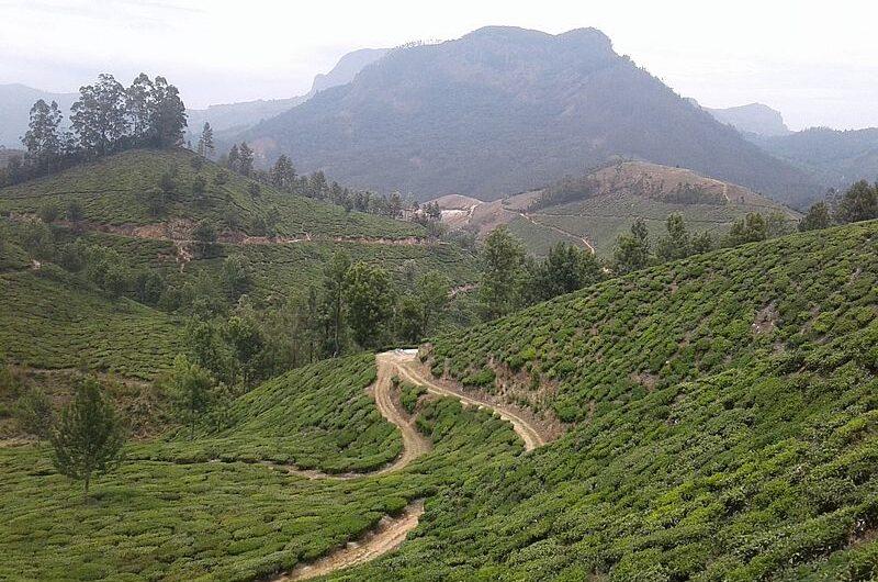 Чайные плантации Индии