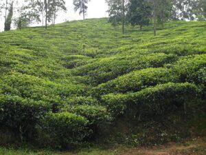 Зеленый чай растет